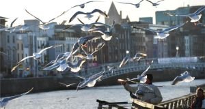 Seagulls above the boardwalk on Dublin's quays. It could be argued that the city's seagulls are more highly evolved than those in other parts of the country. Photograph: The Irish Times
