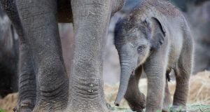 Dublin Zoo is celebrating the arrival of a new Asian elephant. Photograph: Patrick Bolger