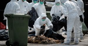 Officials pile dead chickens into bags in Hong Kong earlier this year in a mass cull after the deadly H7N9 virus was discovered in poultry imported from mainland China. Photograph: Philippe Lopez/AFP/Getty Images