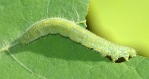 Vibrations caused by caterpillars eating their leaves results in the plants putting their chemical defences into action