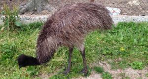 The owner of a Carlow wildlife park belives his emu was stolen. Photograph: Southern County Fishing Resort /Facebook