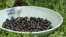 Blackcurrants waiting to be made into jams, ice cream, cassis and cordial. Photograph: Richard Johnston