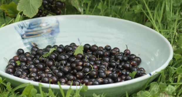 blackcurrants waiting to be made into jams ice cream cassis and cordial photograph jpg 620x330 currants