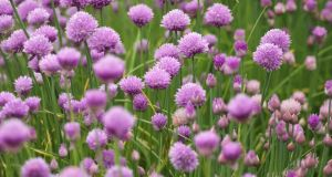 Cut back chives to encourage new growth. Photograph: Richard Johnston