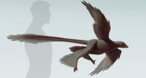 An artist's rendering shows the newly discovered feathered dinosaur, Changyuraptor yangi, in this image released on July 15, 2014, courtesy of the Natural History Museum (NHM)'s Dinosaur Institute. Photograph. S. Abramowicz/Dinosaur Institute/NHM/Handout via Reuters
