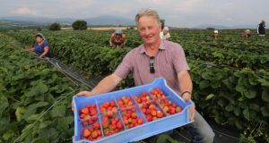Jimmy Kearns of Kearns Fruit Farm, Curraghgraigue, Enniscorthy, Co Wexford, in one of his strawberry fields. Photograph: Mary Browne