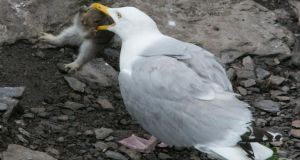 The rabbit tries to fight off  the herring gull on Skellig Michael.  Photograph: Michael Kelly