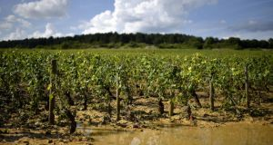 A vineyard near Pommard in France's Burgundy region seriously damaged after a summer hailstorm. Photograph: Getty Images