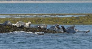 Seals bask in the sun. Photograph:  Alan Betson