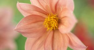 Unnamed dahlia grown from seed, growing in June Blake's garden last week. Photograph: Richard Johnston