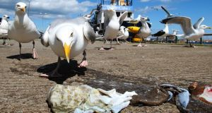 Seagulls fight over scraps in Howth. Photograph: Brian Lawless/PA Wire
