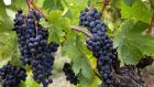 Visit vineyards in  Bordeaux during harvest time on a wine tour