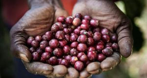A coffee farmer holds freshly picked coffee cherries. Photograph: Cedric Arnold