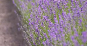 Once the scented, purple flower spikes of lavender (Lavandula) have faded, cut away the flower heads along with roughly an inch of this year's growth. Photograph: Richard Johnston