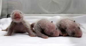 Newborn giant panda triplets, which were born to giant panda Juxiao, inside an incubator at the Chimelong Safari Park in Guangzhou. Photograph: China Daily/Reuters