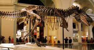 A dino named Sue: the 12.3m-long Tyrannosaurus rex specimen as it now stands in the Field Museum of Natural History in Chicago. Photograph: Dallas Krentzel. Wikipedia.