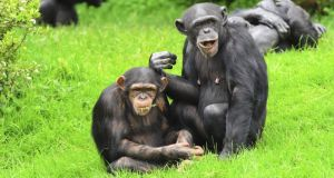 "Ten full hours of ""chimp chat"" have been put up online in order to encourage more research into what the animals are saying."
