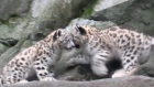 Two rare Snow Leopard cubs were recently introduced to the public at New York's Bronx Zoo. Video: Reuters