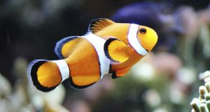All clownfish are born male and become female later