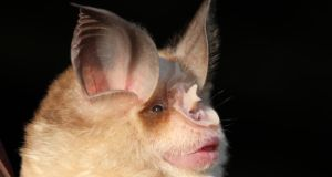 Rhinolophus mehelyi in northeast Bulgaria: in a study, the males had echolocation calls 30 kilohertz higher than the range expected for bats of this size. Photograph: Sebastien Puechmaille