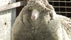 Sheep discovered in Australian outback may be world's wooliest