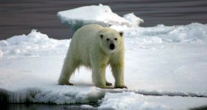 A polar bear in the Northwest Passage