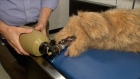 Researchers at Cornell University have created the first robotic pet simulation centre, giving veterinary students hands-on learning experience. Video: Reuters