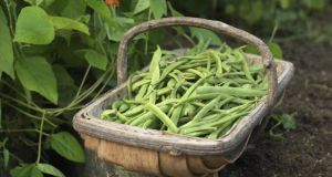 Put runner beans aside for the winter by blanching, bagging and freezing them.  Photograph: Richard Johnston