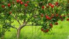 Fan-trained apple tree in fruit. Photograph: Richard Johnston