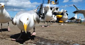 "Seagulls fighting over scraps.  Kerry senator  Ned O'Sullivan said: ""I have received hundreds of messages and calls. Without a word of a lie over 90 per cent were supportive and positive.""  Photograph:  Brian Lawless/PA"