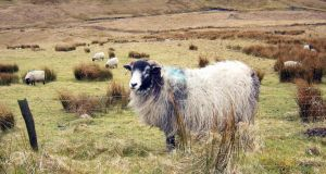 Sheep in the Mourne mountains