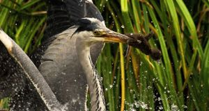 A heron catches a tufted duckling