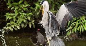 Moorhen attacks a heron