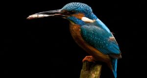 Kingfisher with a fish.
