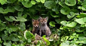 Two fox cubs sitting outside the den