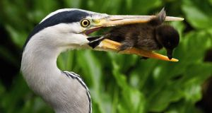 A heron with a tufted duckling in its beak.