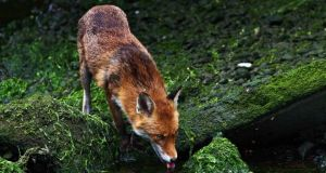 A vixen drinking, taken from the book 'Doorstep Wilderness: A Wilder Side Of Dublin'. All the photographs were taken on the banks of the river Dodder, immediately behind the Aviva Stadium. Photographs: Paul Hughes