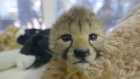 Two cheetah cubs being hand raised by animal care staff at the San Diego Zoo Safari Park are receiving around-the-clock care and bottle feedings at the Park's Animal Care Centre. Video: Reuters