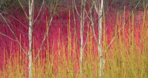The colourful winter stems of Cornus sericea 'Flaviramea', C. sanguinea 'Midwinter Fire' and C. alba 'Sibirica' surrounding the silver-white trunks of Himalayan birches together make a spectacular display. Photograph: Richard Johnston