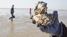 Foraging in Denmark, where the world is your oyster