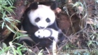 A Chinese nature reserve on Sunday released video footage taken by an infrared camera to document the life of a newly born panda cub. Video: Reuters