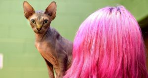 Elaine Hughes from Lusk with her Canadian Sphynx  at the 61s annual championship cat show Knocklyon Community Centre ,yesterday. Photograph: Cyril Byrne / THE IRISH TIMES