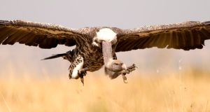 Zoologists at Trinity College Dublin have come up with the idea of creating 'restaurants' for vultures to protect the specis against habitat loss, poisoning and other threats. Photograph: Darcy Ogada.