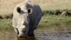 Two white rhinos at the San Diego Zoo bring hope for their species as only six remain in the world. Video: Reuters/San Diego Zoo