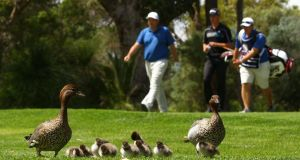 Anthony Wall of England and Oliver Goss of Australia walk past a group of ducks on day one of the 2014 Perth International at Lake Karrinyup Country Club in Perth, Australia. Photograph:  Paul Kane/Getty Images