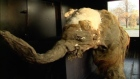 Extremely rare 39,000-year-old baby mammoth goes on display