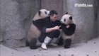Baby pandas wrestle breeder in 'medicine battle'