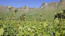 New Zealand's unique wine-growing landscape. Photograph: Thinkstock