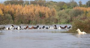 Horses being rescued and crossing the River  Slaney, in Enniscorthy, whose banks burst. Photograph: Patrick Browne