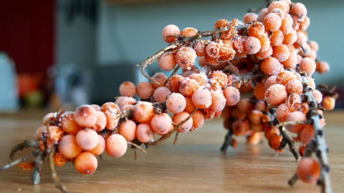 The sea buckthorn berry: a ridiculously frustrating fruit